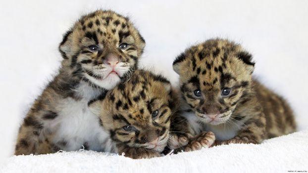 Фото бесплатно димчатий леопард, дитинчата, троє