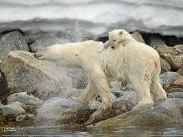 Бесплатные фото медведь,белый,медвежонок,вода,океан,на берегу,животные