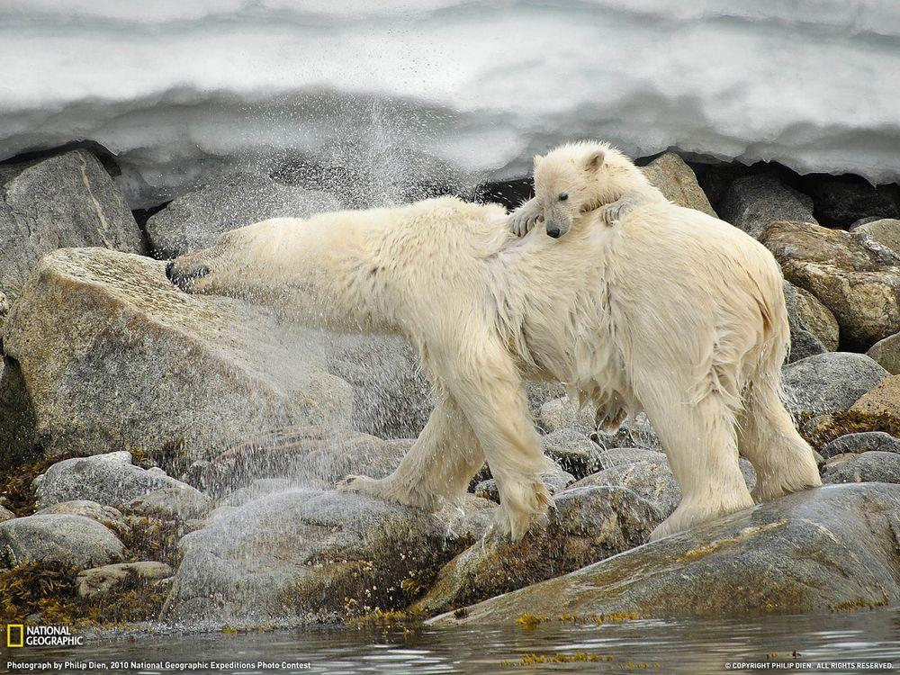 Фото бесплатно медведь, белый, медвежонок - на рабочий стол