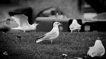 Photo free gull, white, wings