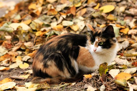 Photo free cat, three-color, half-breed
