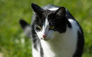 Заставки кот, черно-белый, морда