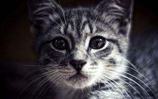 Бесплатные фото кот,котенок,мордашка,глаза,усы,фото,черно-белое