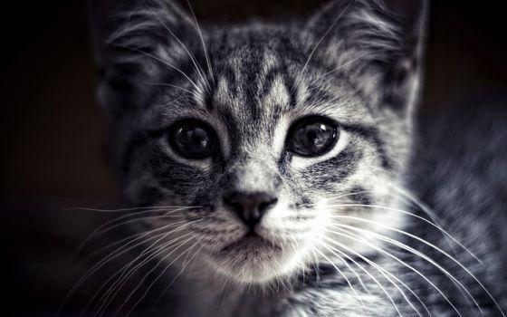 Фото бесплатно кот, котенок, мордашка, глаза, усы, фото, черно-белое, сепия, кошки