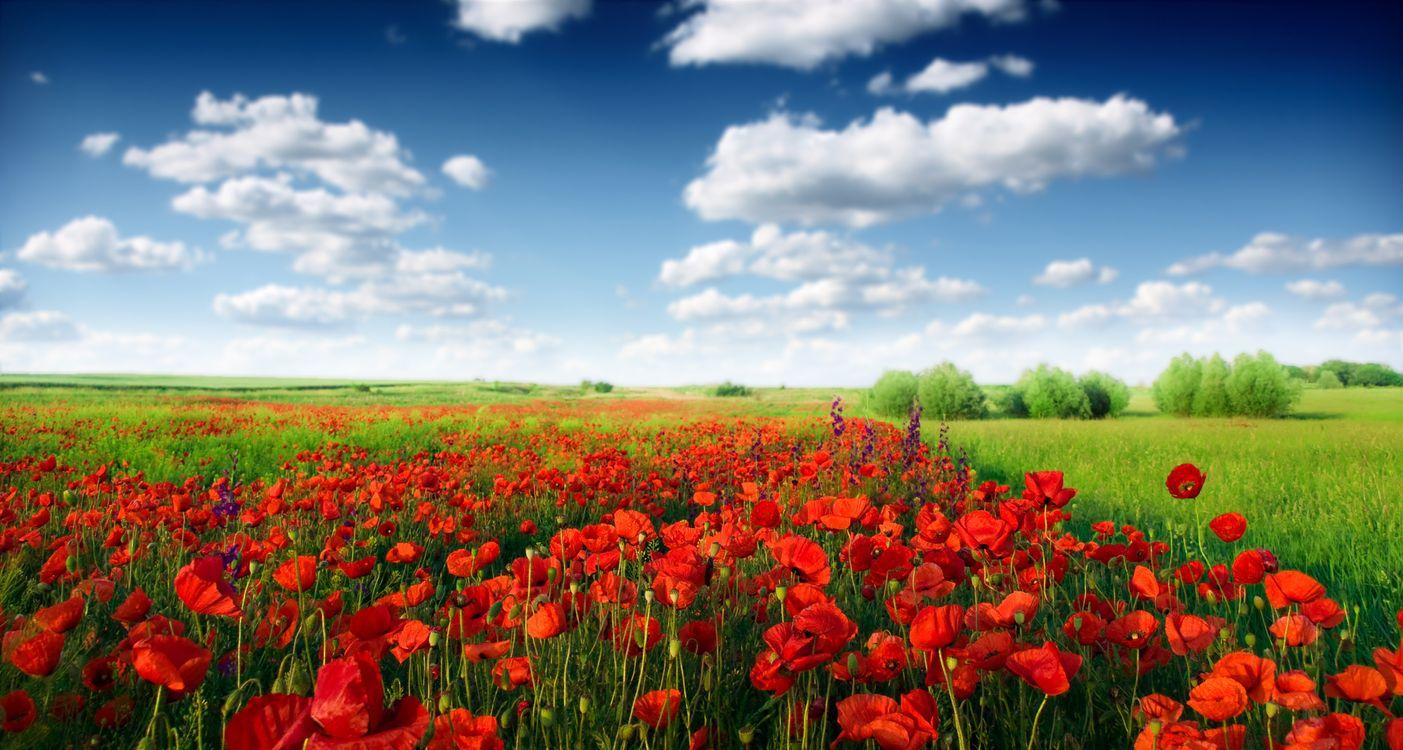 Фото бесплатно поле, лето, зелень, красные, цветочки, деревья, небо, облака, цветы, цветы