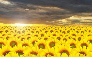 Бесплатные фото поле,подсолнух,небо,облака,горизонт,плантация,солнце