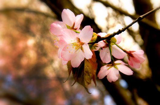 Бесплатные фото цветы,сакура,весна
