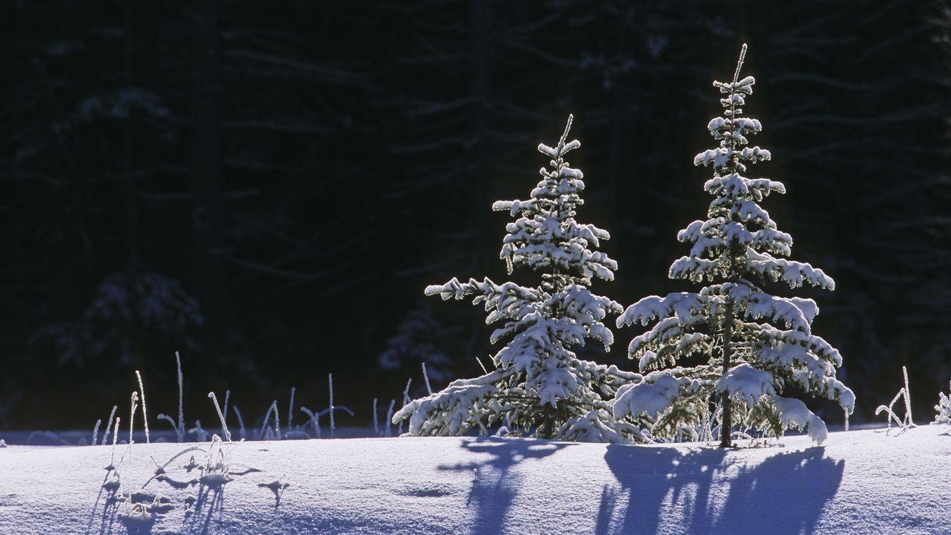Фото бесплатно ели, снег, зима - на рабочий стол