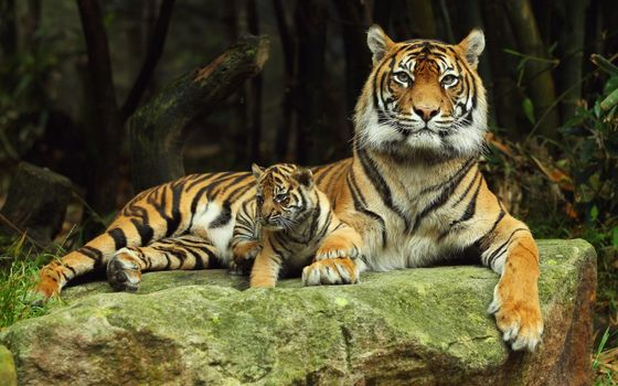 Фото бесплатно тигр, тигрица, тигренок
