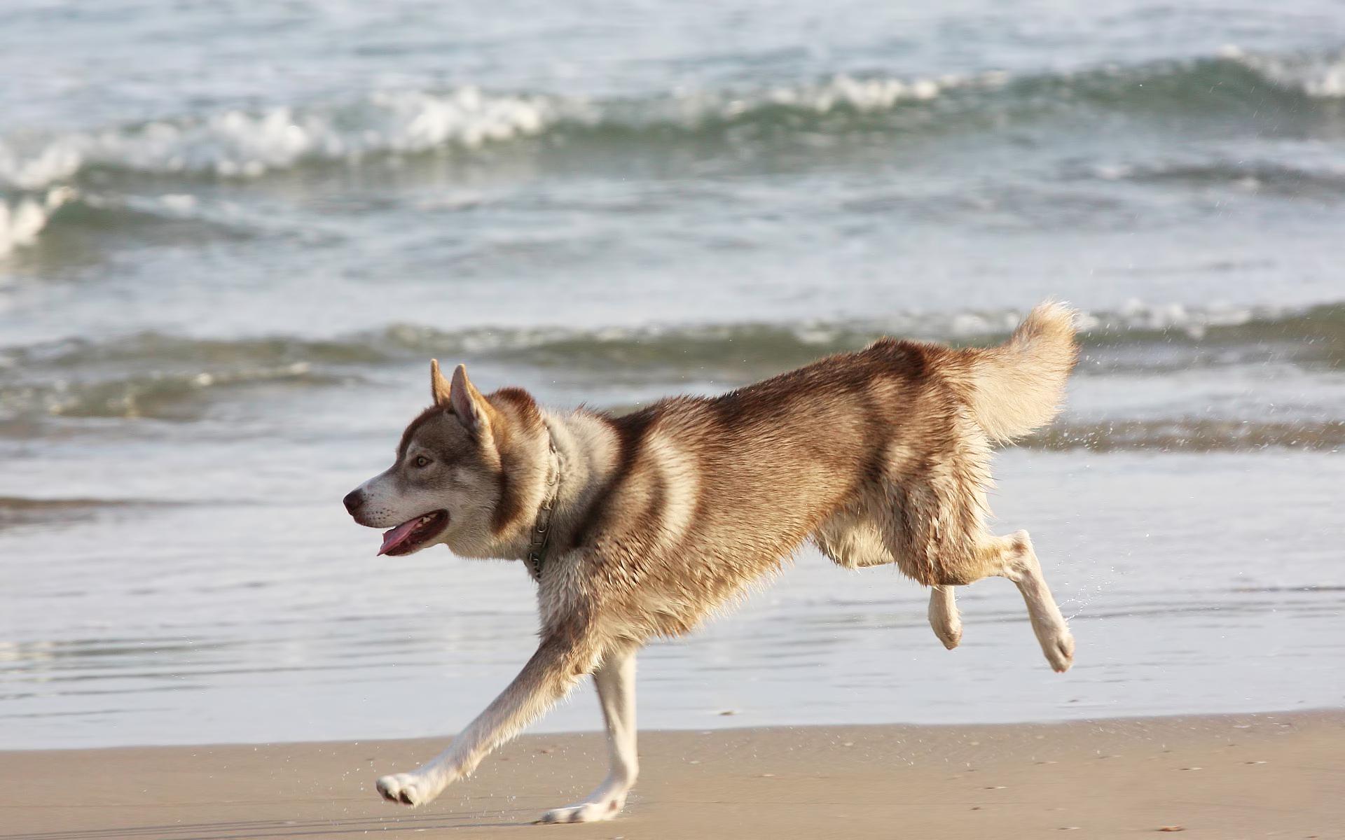 Собака бегущая язык лапы бесплатно