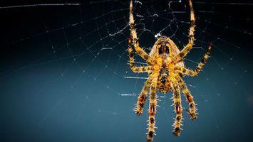 Обои паук, лапки, мохнатый, тарантул, паутина, плести, узор, рисунок, заставка, фон, синий, яркий