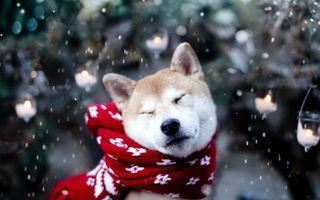 Бесплатные фото пес,щенок,хаски,шерсть,шарф,зима,снег