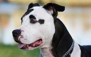 Бесплатные фото пес,щенок,уши,глаза,взгляд,нос,зубы