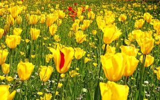 Обои поле, тюльпаны, желтые, красные, ромашки, белые, цветы