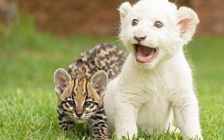 Фото бесплатно тигр, гепард, котята