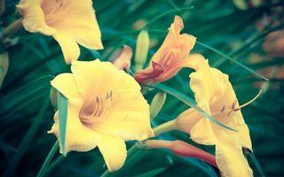 Заставки цветки, желтые, тычинки