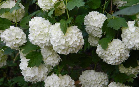 Бесплатные фото цветки,куст,листья,крона,лепестки,белые,аромат,лето,тепло,ветки,цветы