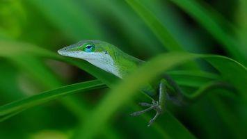 Заставки ящерица, трава, зеленая, глаз, чешуя, лапка, профиль, животные