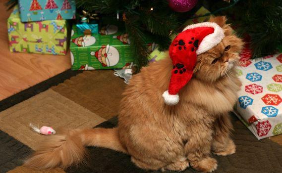 Фото бесплатно перс, кот, в шапке