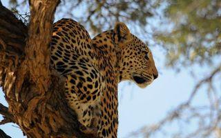 Бесплатные фото леопард,морда,лапы,шерсть,пятна,дерево,кошки