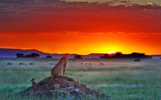 Фото бесплатно гепарды, саванна, закат