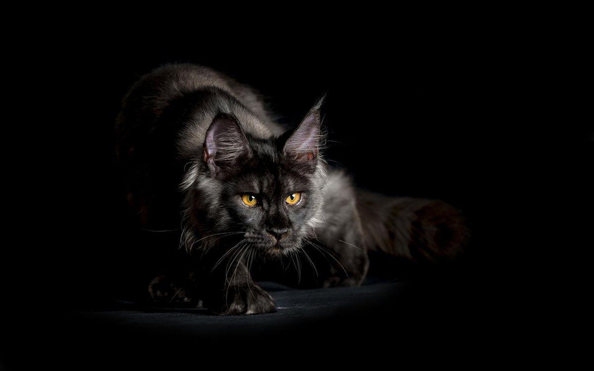 Фото бесплатно кот, черный, глаза, желтые, морда, лапы, шерсть, кошки, кошки