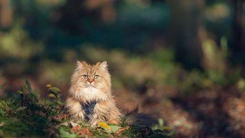 Бесплатные фото кот,шерсть,окрас,порода,глаза,уши,листья