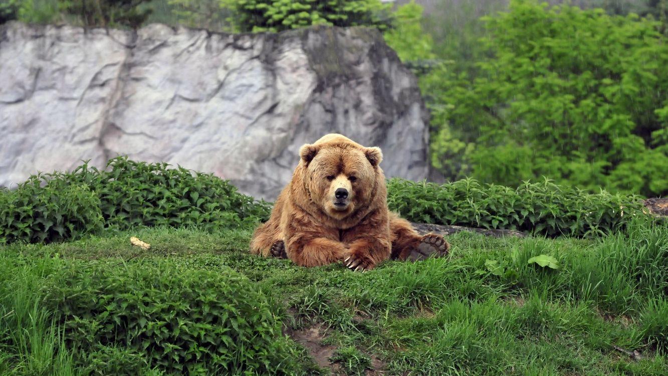 Фото бесплатно медведь, лапы, глаза, шерсть, трава, кусты, животные, животные