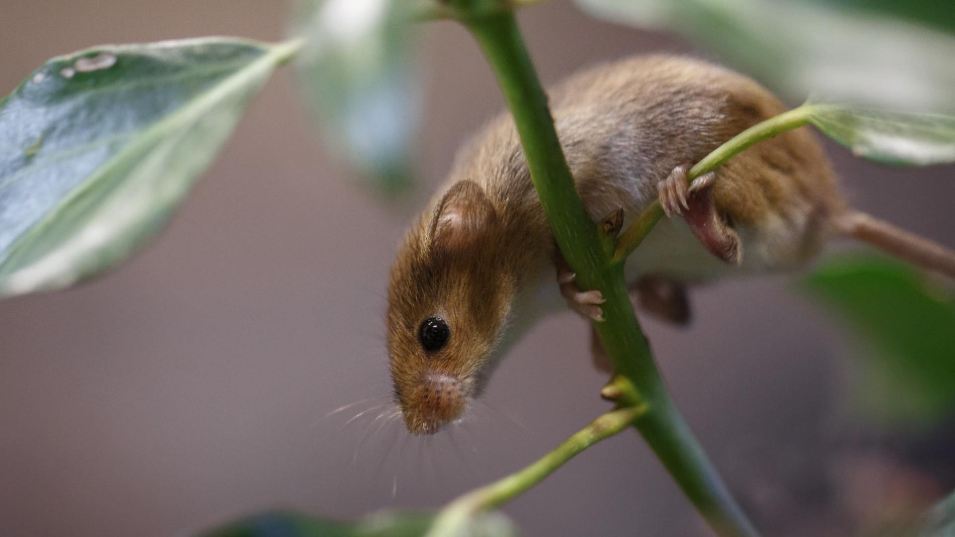 мышь, грызун, коричневый