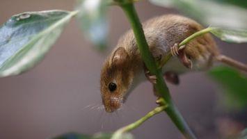 Фото бесплатно мышь, грызун, коричневый