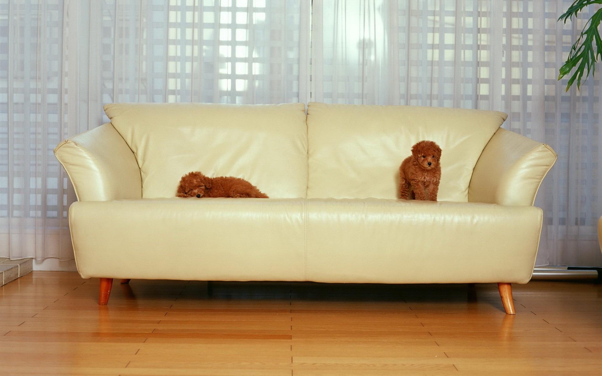щенки, рыжие, диван