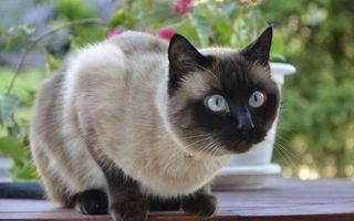 Бесплатные фото сиамский,кот,глаза,взгляд,уши,подоконник,ваза