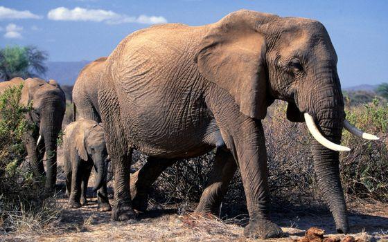 Бесплатные фото слоны,бивни,хобот,уши,небо облака,животные