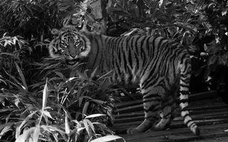 Бесплатные фото тигр,полосатый,хищник,морда,оскал,растительность,кошки