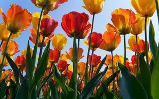 Бесплатные фото тюльпаны,цветки,лепестки,листья,стебли,клумба,теплица