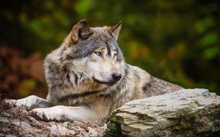 Фото бесплатно волк возле камня, камень, wolf, животные