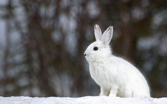 Бесплатные фото заяц,белый,уши,лапы,шерсть,снег,животные