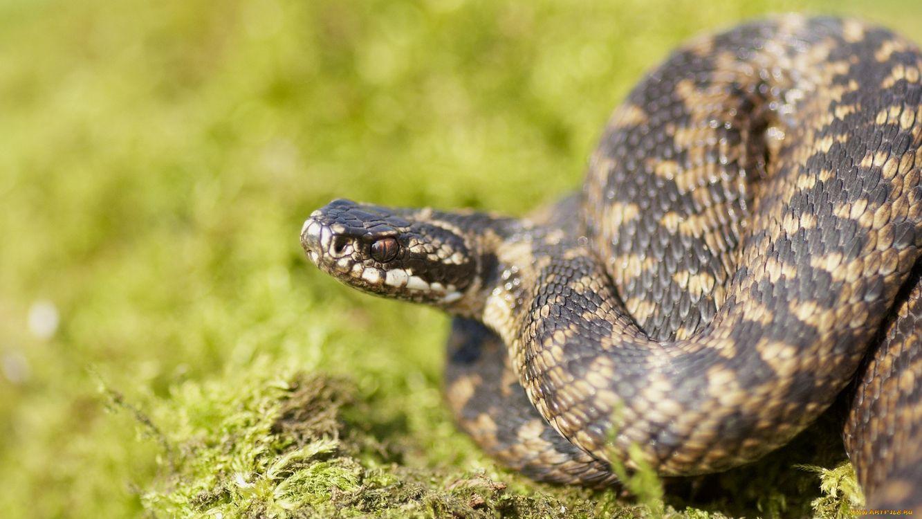 Фото змея голова коричневая - бесплатные картинки на Fonwall