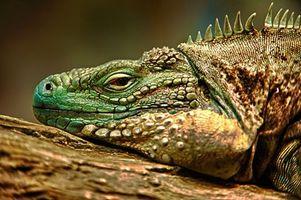 Фото бесплатно hdr, ящерица, игуана