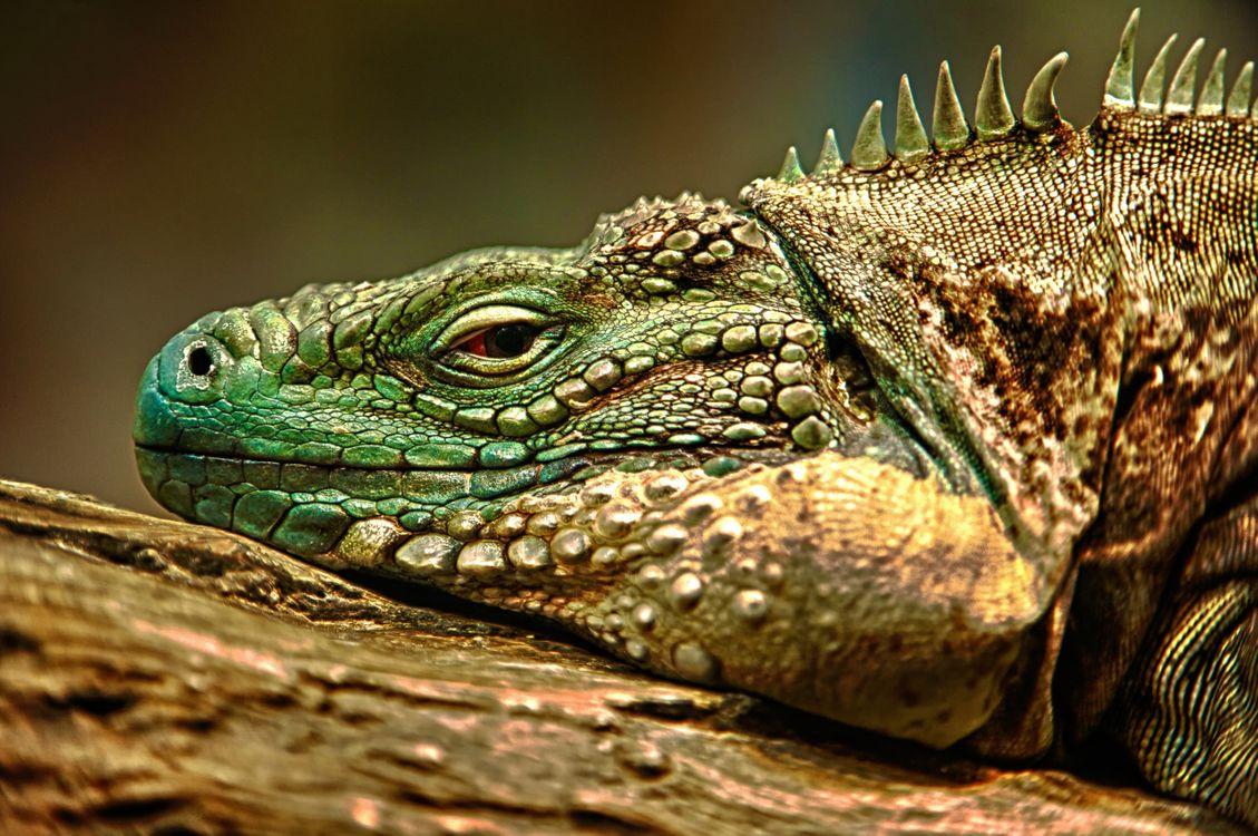 Фото бесплатно hdr, ящерица, игуана, разное