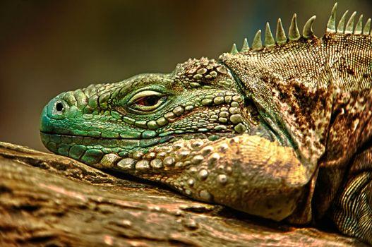 Бесплатные фото hdr,ящерица,игуана