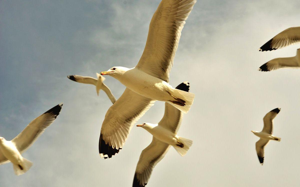Фото бесплатно чайки, полет, крылья, хвост, лапы, небо, птицы, птицы
