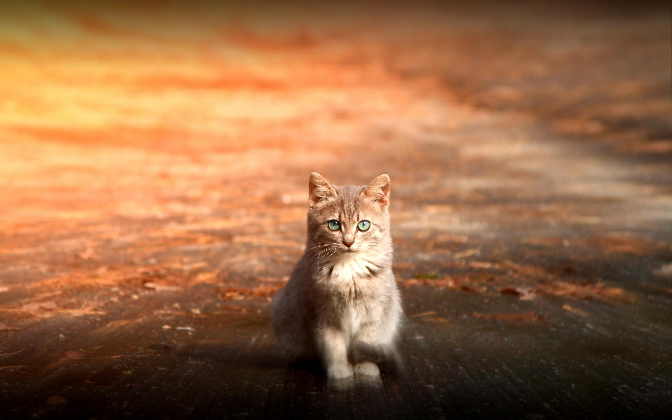 Обои котенок, ушки, глаза, дорога