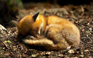 Бесплатные фото лиса,сон,отдыхает,лес,природа,земля,ветки