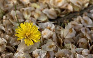 Заставки одуванчик, цветок, клумба