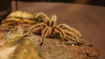 Фото бесплатно паук, лапы, восемь, волосаты, коричневый, камень, насекомые