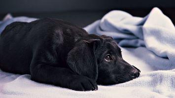 Фото бесплатно пес, черный, шерсть