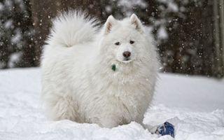 Бесплатные фото пес,белый,пушистый,снег,ошейник,играет,собаки