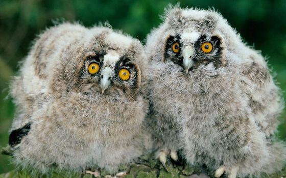 Заставки птенцы, филина, глаза