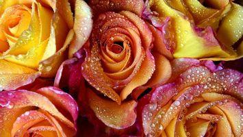 Фото бесплатно розы, нежные, лепестки